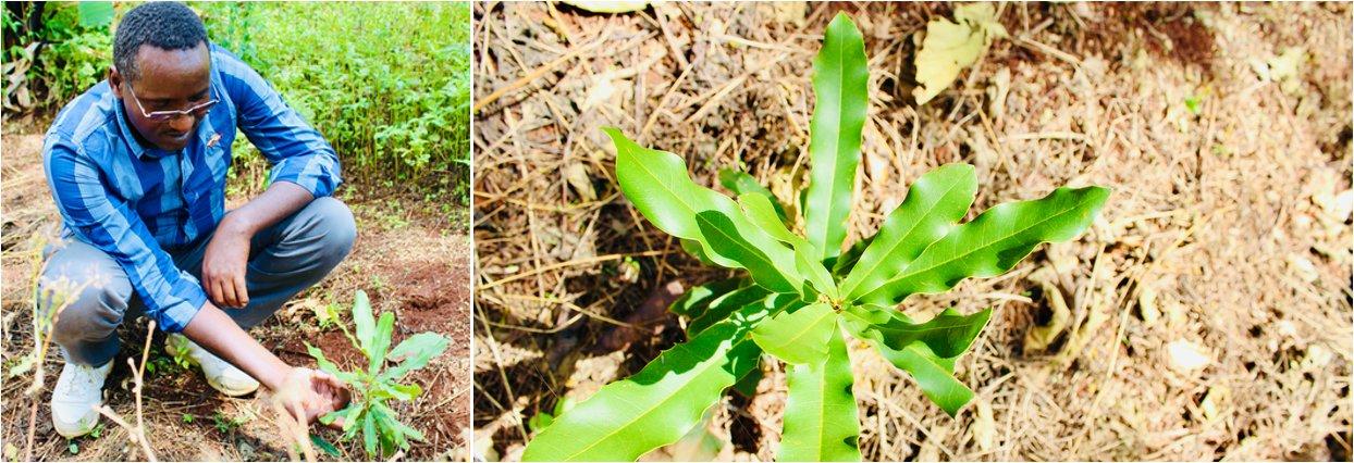 Nove stromy v Etiopii 4