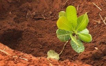 Nové kešu stromy už prinášajú úrodu